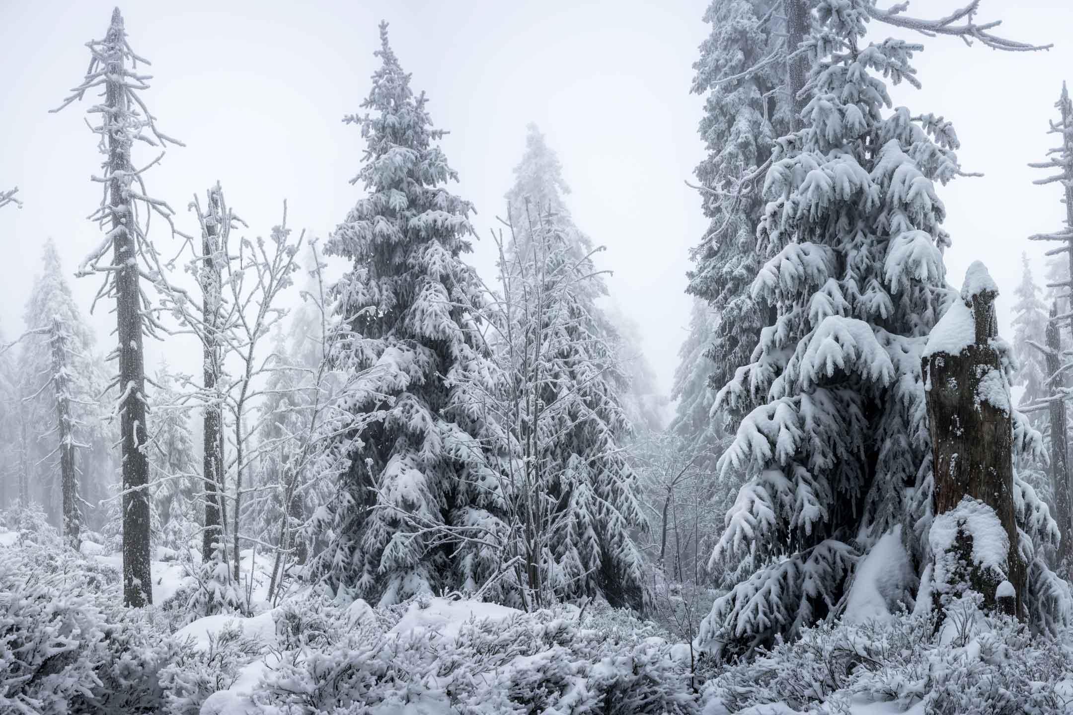 Baumwipfel mit Schnee